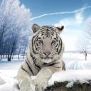 北极虎模拟器